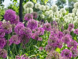 A mass of Alliums!