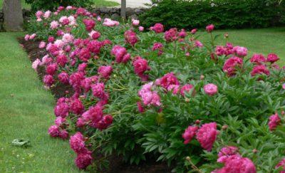 A mass of paeonia colour.