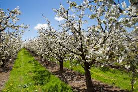 An orchard of pear trees