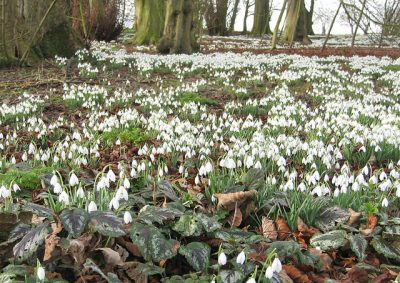 Carpets of Snowdrops.