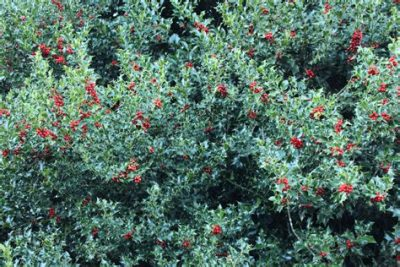 Holly adding mid-winter colour and structure to the garden.