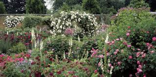 stunning-roses-at-mottisfont-abbey