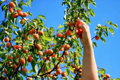 The joy of growing and picking your own fruit!
