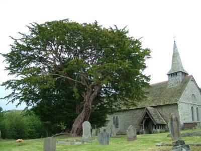 Giant church yard yew tree.
