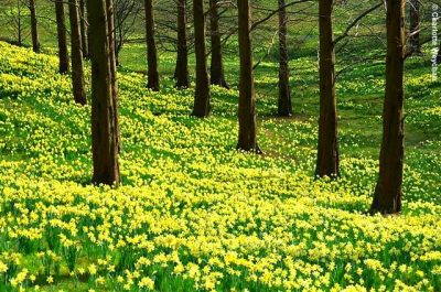 'A host of golden Daffodils'