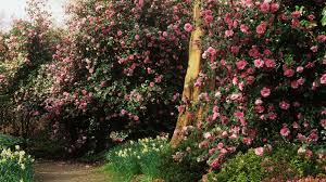 A mass of Camellias