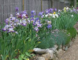 A mass of Irises