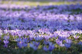 A mass of autumn crocus