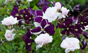 clematis the perfect planting partner