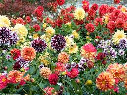 on mass Dahlias