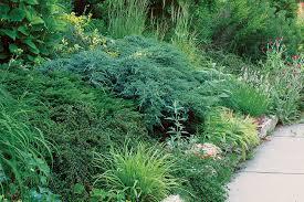 Conifers adding green texture to a mixed border