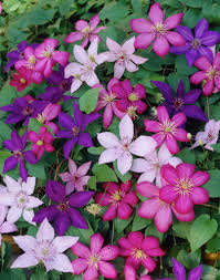A Clematis to suit all tastes.