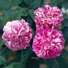 R. Tricolore-de-flandre-Gallica