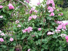 R. Jacques Roses. Portland