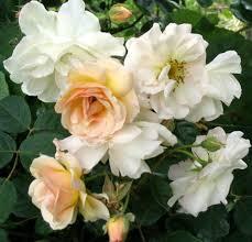 R. Penelope.New English shrub