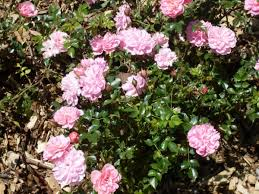 R. Pink bells .Groundcover