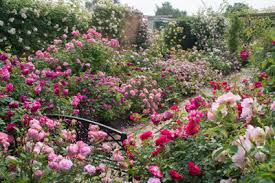 Roses at David Austin garden-and-plant-centre