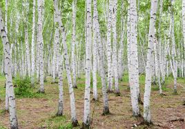 Mass of birch with sliver trunks