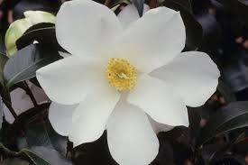 Camellia 'Cornish Cream'