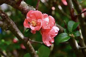 Chaenomeles japonica 'Ma Dame Butterfly'