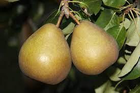 Pear Buerre Hardy
