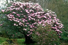 Rhododendrons fulvum