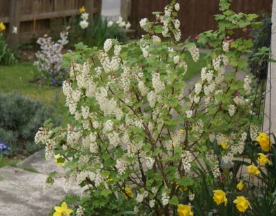 Ribes sanginum 'White Iceicals'