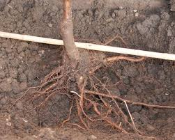 planting a bare root tree.