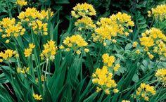 Allium 'Moly Jeannine'