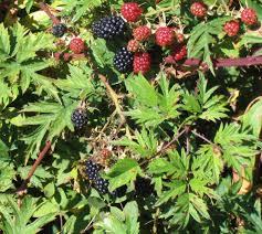 Blackberry Oregan Thornless