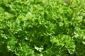 Curly leafed Parsley