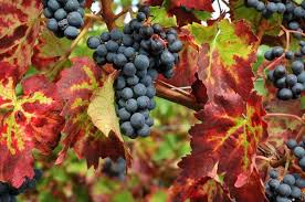 Grape vitis Brandt