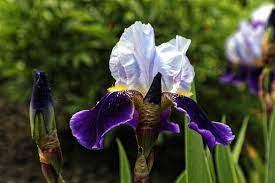 Iris 'Brathwaite'