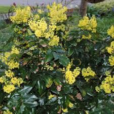 M.aquifolium'Apollo'