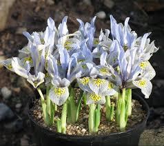 Iris histtriodes 'kathrine Hodgkin'