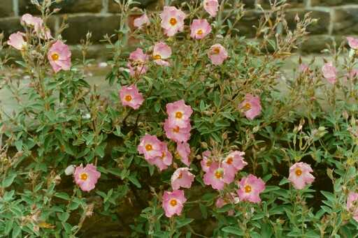 Cistus x argenteus 'Sliver Pink'