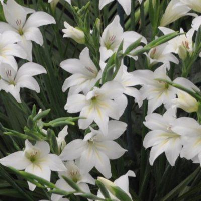 Gladiolus alba 'The Bride'