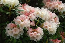 Rhododendron yakushimanum 'Grumpy'