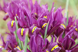 Iris retculata 'J.S.Dijt'
