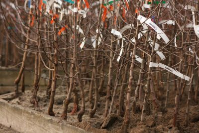 Bare root fruit trees.