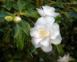 Camellia japonica 'Lady Vansihart'