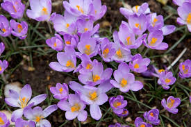 Crocus Advantage
