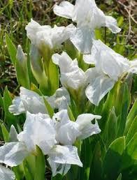 I. 'Lilli-White'