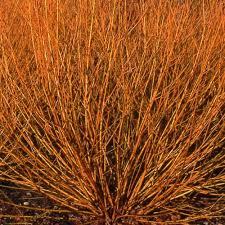 Salix alba 'Golden Ness'