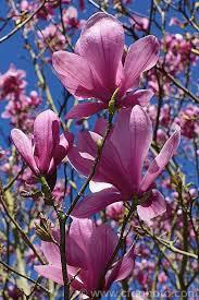 Magnolia liliiflora 'Nigra'