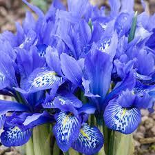Iris histroides 'Beatrix Stanley'
