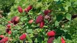Longanberry LY59