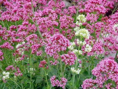Centhranthus ruber