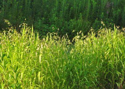 Chasmanthium uniola latiflia