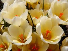 Crocus Cream Beauty